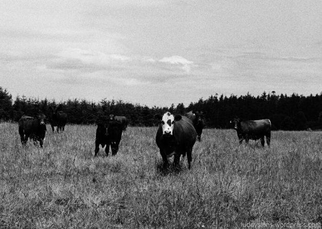 Cows at Straits View Farm