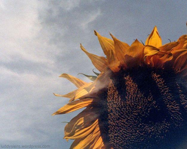 Sunflower + Sky (2)